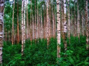 birch-trees-301918_640-300x225