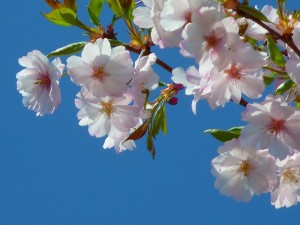 japanese-cherry-trees-6349_640-300x225