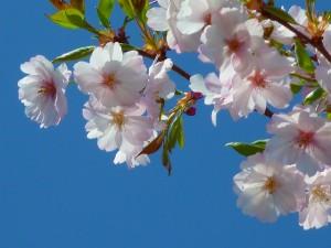 japanese-cherry-trees-6349_640-300x225