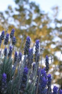 lavender-56284_640-199x300